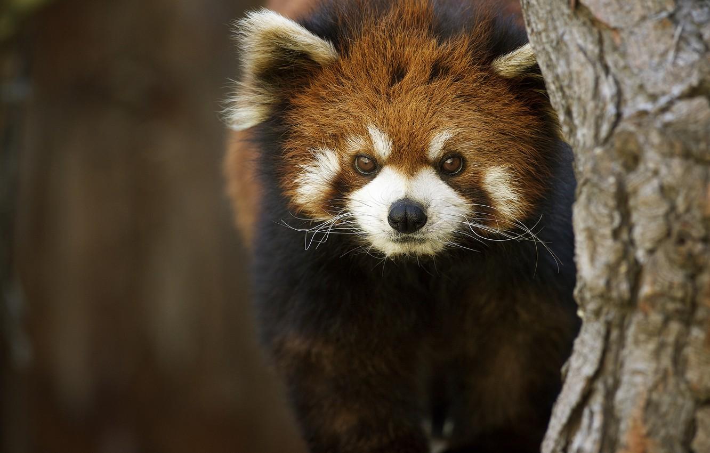 Photo wallpaper background, tree, firefox, Red Panda
