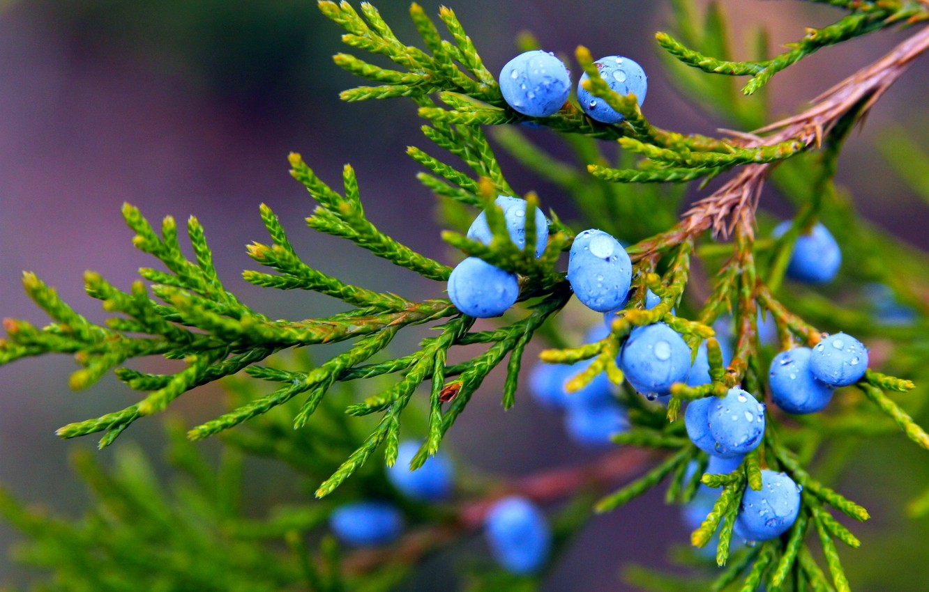 Photo wallpaper autumn, drops, macro, nature, berries, plant, branch, fruit, juniper