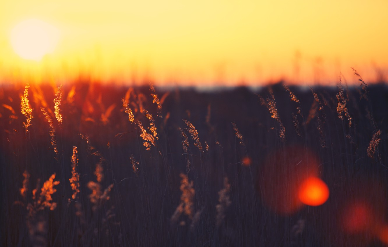 Photo wallpaper field, color, the sun, rays, light, sunset, background, Wallpaper, spikelets