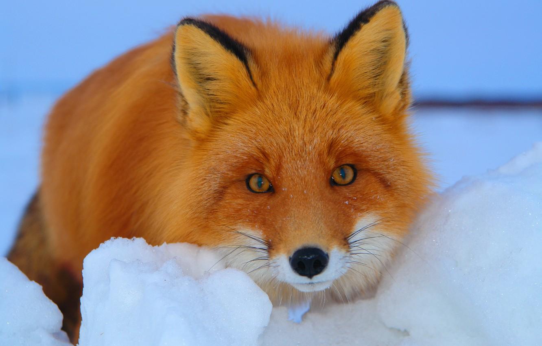 Photo wallpaper winter, look, snow, Fox, red