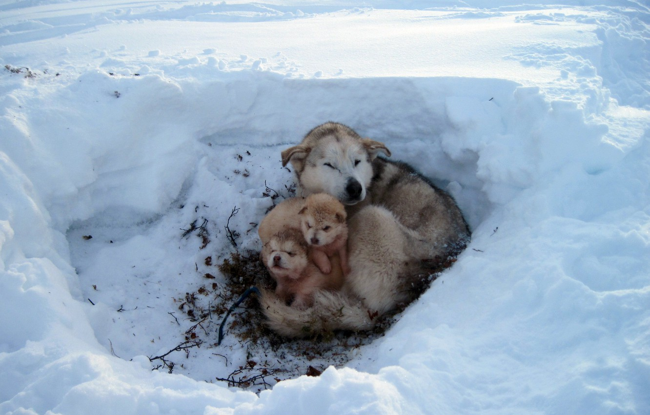 Photo wallpaper FROST, WOOL, FUR, SNOW, WINTER, OFFSPRING, PUPPIES