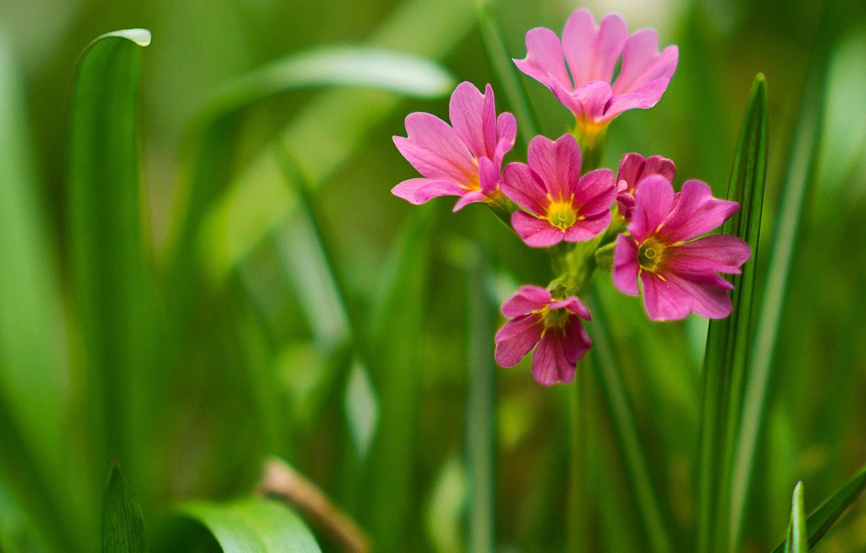 Photo wallpaper macro, Primula, Primula veris