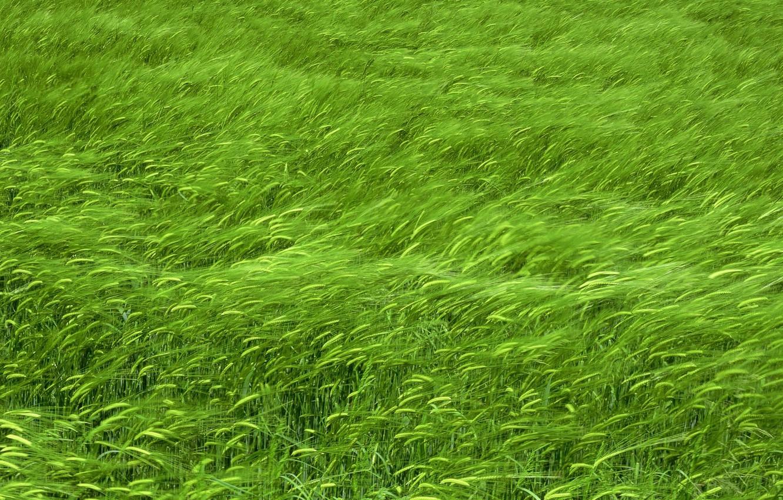 Photo wallpaper field, the wind, ears