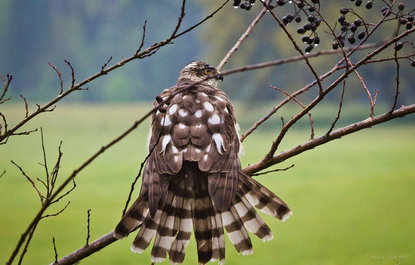 Photo wallpaper branches, bird, after the rain, dried, Falcon
