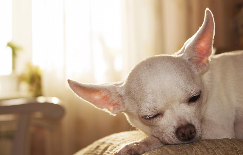 Photo wallpaper animals, dogs, Chihuahua