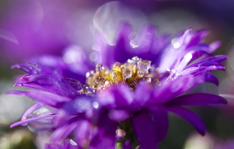 Photo wallpaper petals, Bud, Astra, flowering, lilac