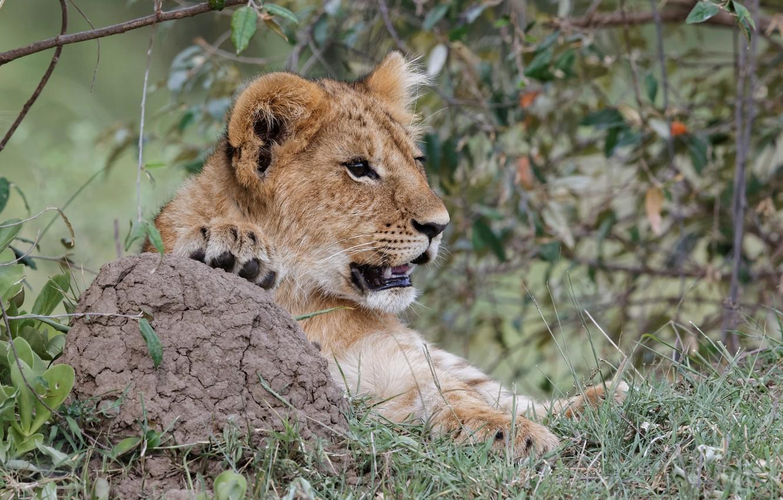 Photo wallpaper cat, grass, look, face, Leo, cub, kitty, lion