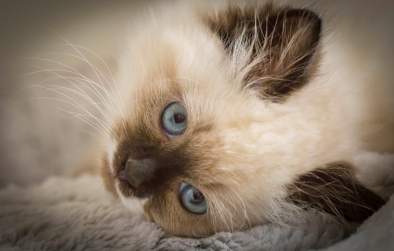 Photo wallpaper look, muzzle, kitty, blue eyes