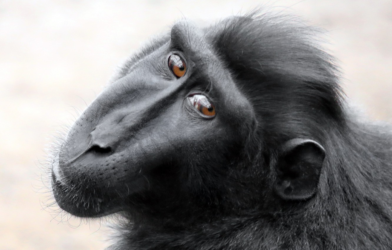Photo wallpaper look, monkey, Black Macaque