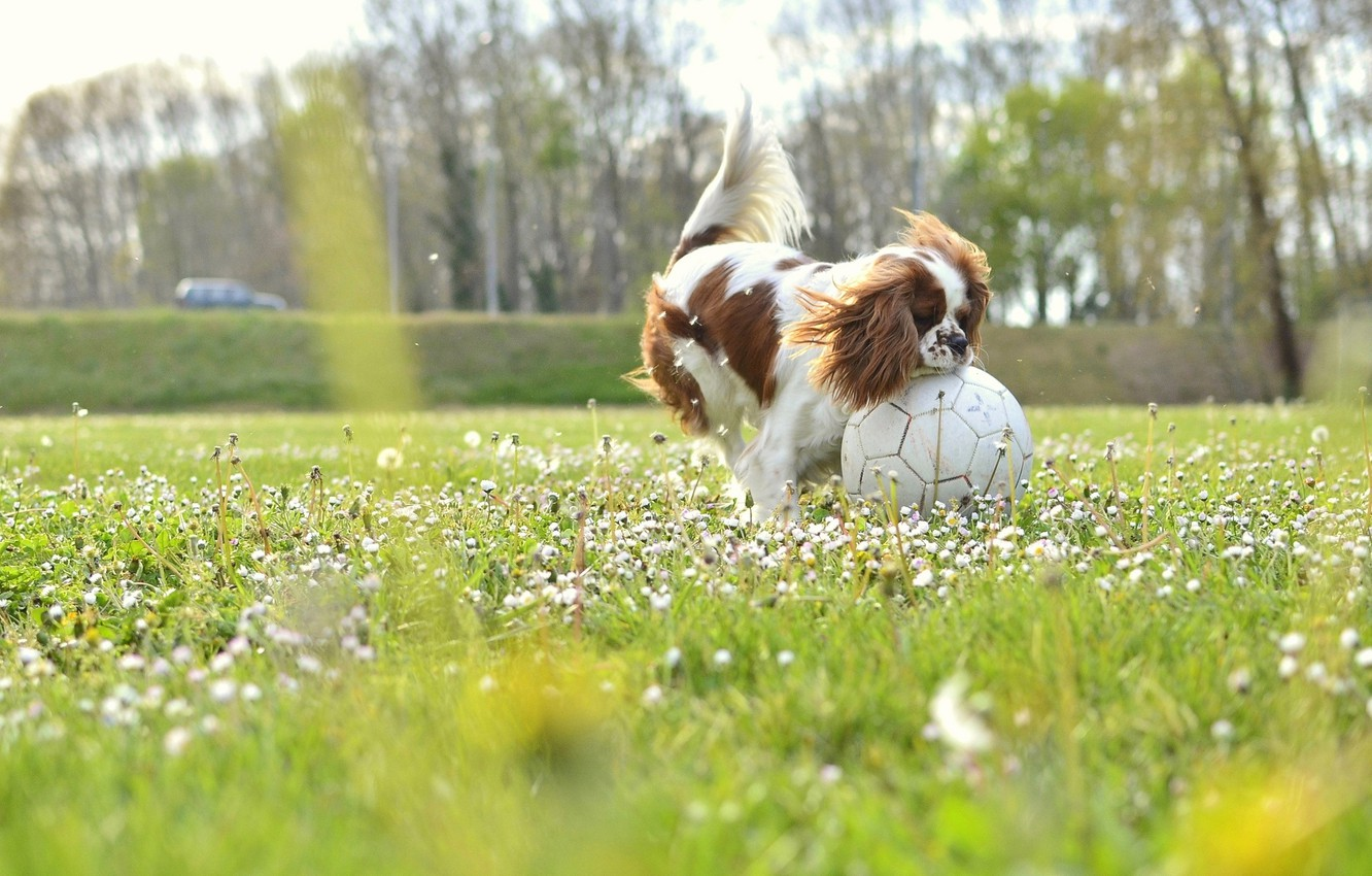 Photo wallpaper field, dog, flowers, soccer, sunny, buds
