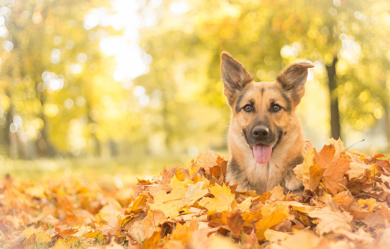 Photo wallpaper autumn, look, face, leaves, dog, shepherd, German shepherd
