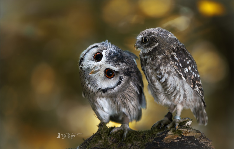 Photo wallpaper birds, owl, two, branch, owls