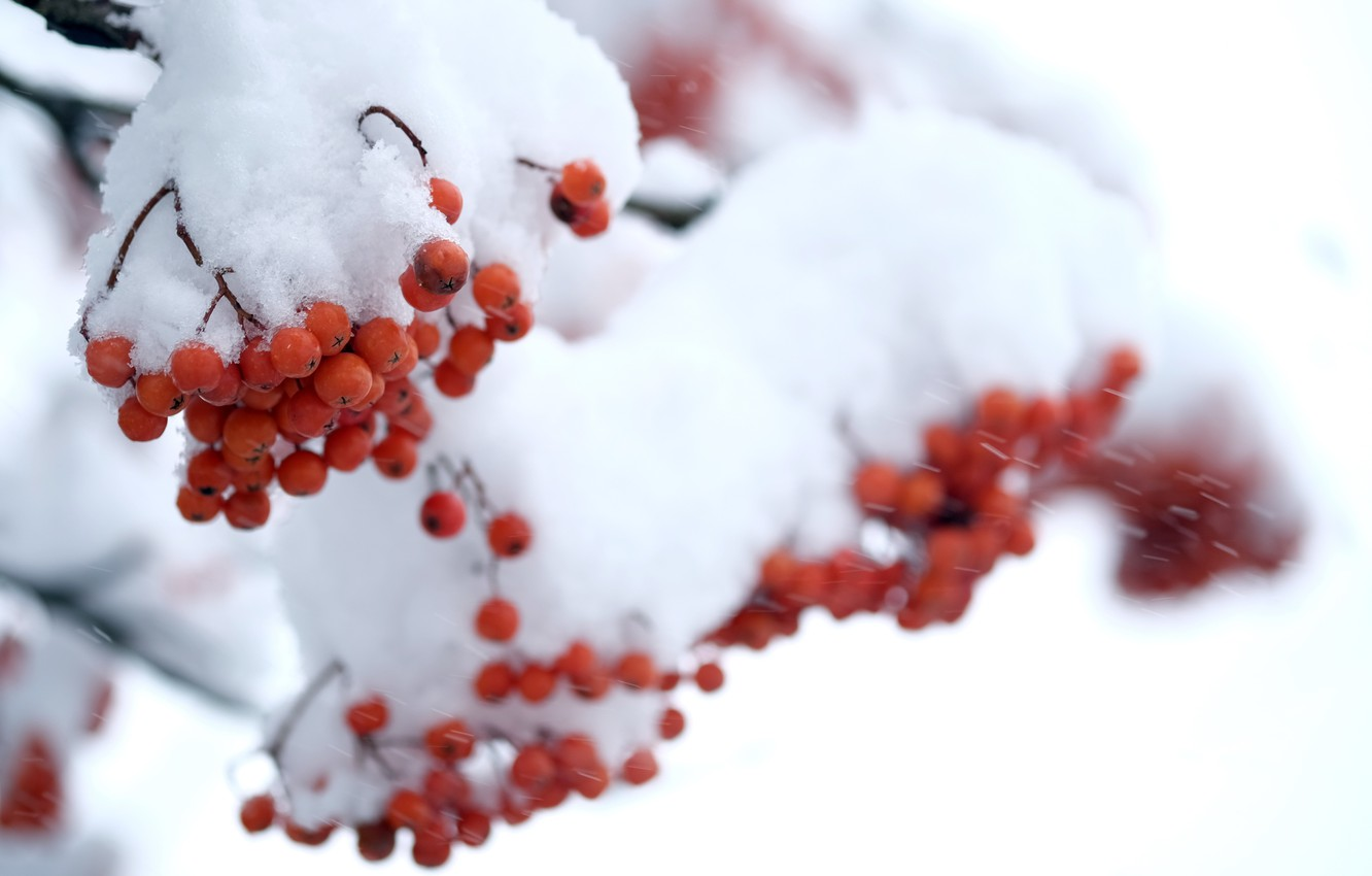 Photo wallpaper winter, snow, berries