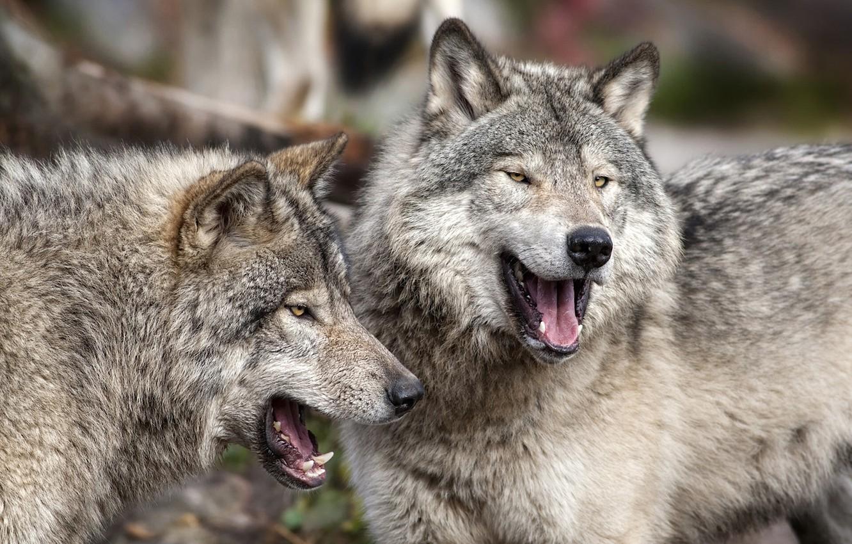 Photo wallpaper predators, wolves, a couple
