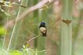 Picture bird, branch, bamboo, Flycatcher