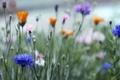 Picture grass, macro, Field, blur, pink, flowers, orange, buds, blue, cornflowers