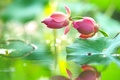 Picture water, drops, reflection, pink, tenderness, Lotus, buds