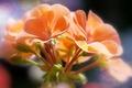 Picture macro, flowers, buds, bokeh, flora