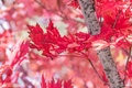 Picture maple, tree, autumn, red, leaves