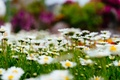 Picture flowers, nature, glade, Chamomile, bokeh