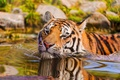 Picture animal, macro, predator, look, tiger, water, swimming