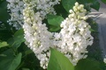 Picture Spring, branch, white lilac, flowers, leaves