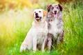 Picture language, grass, friends, summer, meadow, field, greens, pair, Aussie, Australian shepherd, nature, dogs, two