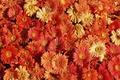 Picture beauty, chrysanthemum, flower carpet