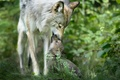 Picture wolf, care, the cub, wildlife