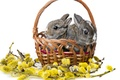 Picture rabbits, white background, Verba, basket, rabbits, cubs