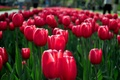 Picture red, flowerbed, tulips, flowers, spring