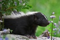 Picture flower, striped skunk, nature