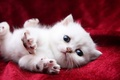 Picture white, red, kitty, background, pads, claws