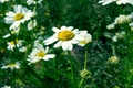 Picture green, 2014, Chamomile, June, August, mood, summer, July, grass, yellow