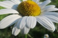 Picture macro, petals, Daisy, mid