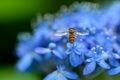 Picture flowers, macro, nature, Hydrangea, blur, petals, insect, blue