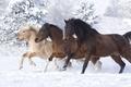 Picture horses, horse, snow, winter