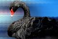 Picture Swan, bird, nature