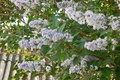 Picture flowers, branches, lilac, spring, nature