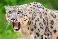 Picture predator, leopard, IRBIS, snow leopard