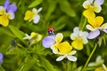 Picture flowers, macro, Pansy, Wallpaper from lolita777, summer, ladybug