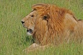 Picture stay, Leo, the king of beasts, Kenya, the scrutinizing, maturest, sputannosti in battles, staying power, ...