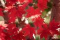 Picture maple, autumn, leaves, the crimson