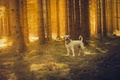 Picture dog, the sun, forest