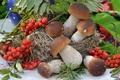 Picture mushrooms, mushrooms, Rowan