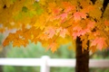 Picture branch, tree, maple, autumn, leaves