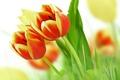 Picture leaves, flowers, beauty, bouquet, petals, tulips, red, red, yellow, yellow, flowers, beauty, petals, bouquet, Tulips