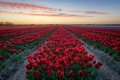 Picture tulips, field, the evening, flowers