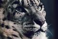 Picture look, predator, face, IRBIS, snow leopard