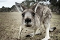 Picture animal, gray, kangaroo